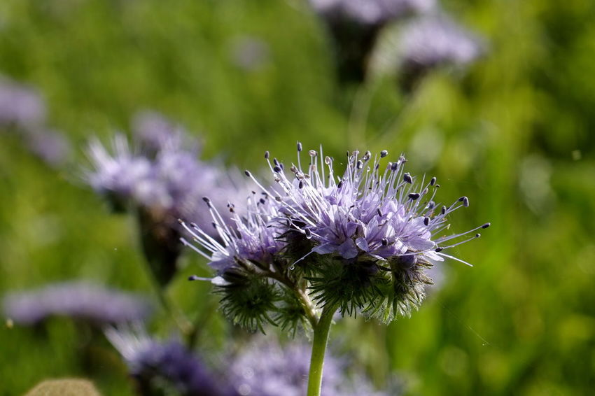 Phacelia Animal Themes Beauty In Nature Bienenweide Close-up Day Flower Flower Head Fragility Freshness Growth Nature No People Outdoors Plant Purple Thistle