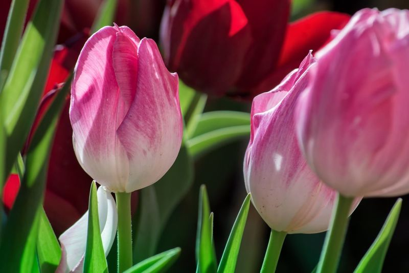 Pink Tulip Flower Petal Growth Beauty In Nature Fragility Freshness Nature Flower Head Plant Close-up Blooming Tulip No People Day Pink Color Outdoors