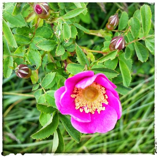 Things I Saw Today Unemployeddays Wild Roses Medicine Plants
