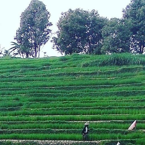 He's farmer Indonesia_photography Indonesiacreative Wonogiri Farmer Green Village Practicedaily Practice Nicepic Niceview Latepost @remco_l nilai berapa untuk ini ? 😀,