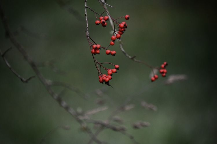 Nature Growth Close-up Tree Red Focus On Foreground No People Fruit Branch Outdoors Rose Hip Day Plant Freshness Beauty In Nature Food Rowanberry Leaf Autumn Fragility Winter Cherry Beauty In Nature Plant Nature Growth