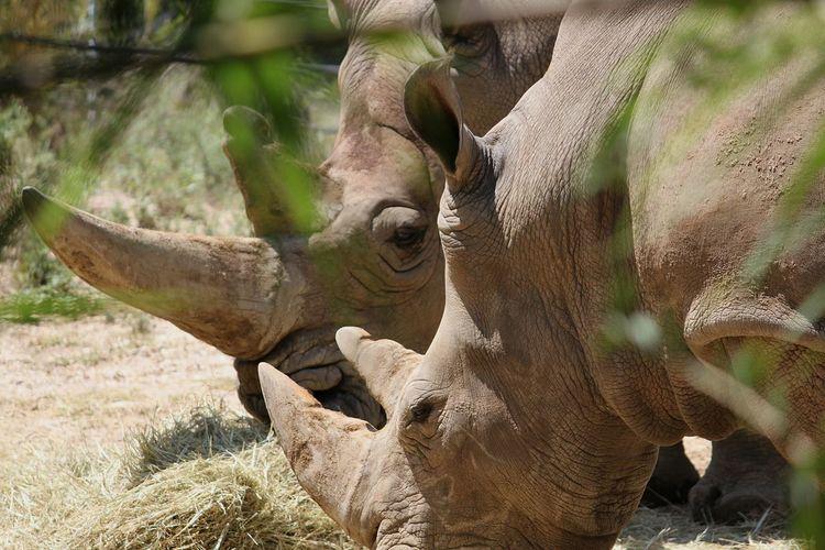 Rhino Animal Wildlife Rhinoceros Rhinos Rhino Horn Rhino Head Two Animals Zoophotography