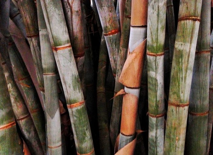 Bamboo growing merrily in Kenya. Full Frame Bamboo Backgrounds Large Group Of Objects No People Close-up Bamboo - Plant Outdoors Bamboo Grove Scenics Nature Beauty In Nature Comfort