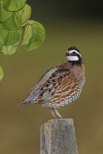 Northern Bobwhite Colinus Virginianus Northern Bobwhite Virginiawachtel Animal Themes Animal Wildlife Animals In The Wild Bird Day Nature One Animal Outdoors