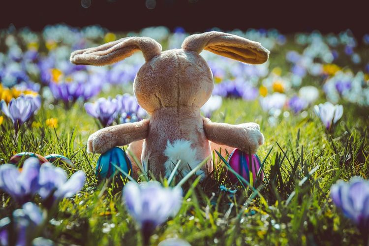 Easter bunny on crocus field