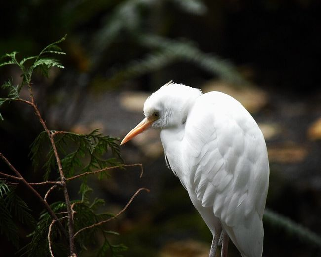 Close-up of egret in oregon zoo