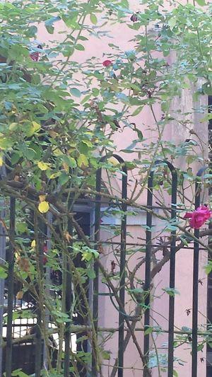 Rose🌹 Fleurs EyeEm Gallery Flowers Flower Collection Walking Around The City  Details