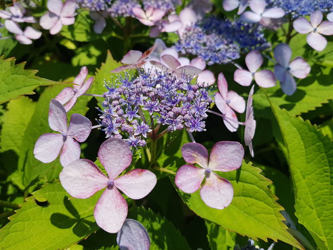 수국 Tongyeong, Republic Of Korea Bigleaf Hydrangea, Flower Head Flower Leaf Purple Pink Color Close-up Plant Blooming Flowering Plant In Bloom