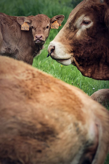 Animal Animal Head  Animal Themes Cattle Cow Day Domestic Domestic Animals Domestic Cattle Field Grass Group Of Animals Herbivorous Land Livestock Mammal Nature No People Outdoors Pets Selective Focus Taurus Two Animals Veal Vertebrate