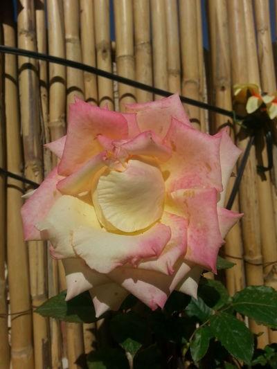Ma Rose nature