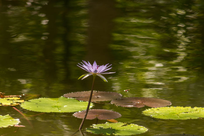 A water Lilly that stood out in the zoo. Animal Themes Beauty In Nature Close-up Day Floating On Water Flower Flower Head Fragility Freshness Growth Leaf Lily Pad Lotus Lotus Water Lily Nature No People Outdoors Petal Plant Pond Tranquility Water Water Lily Waterfront