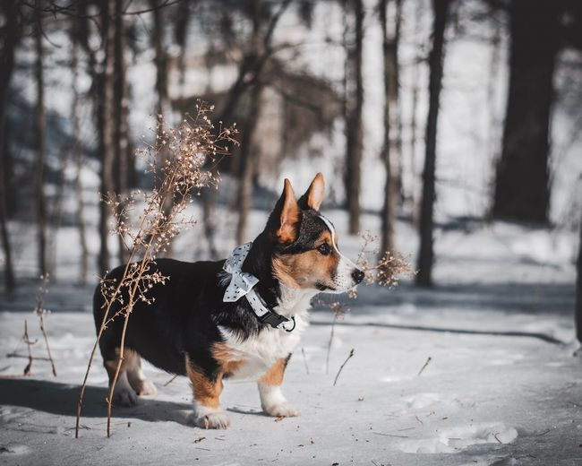 Bow Tie Looking Away Gaze Ottawa Corgi Pembroke Welsh Corgi Dead Plant Flower Optimistic Hope Mammal Animal Animal Themes Pets Domestic Domestic Animals Dog Tree Sunlight Nature Focus On Foreground Day No People Winter