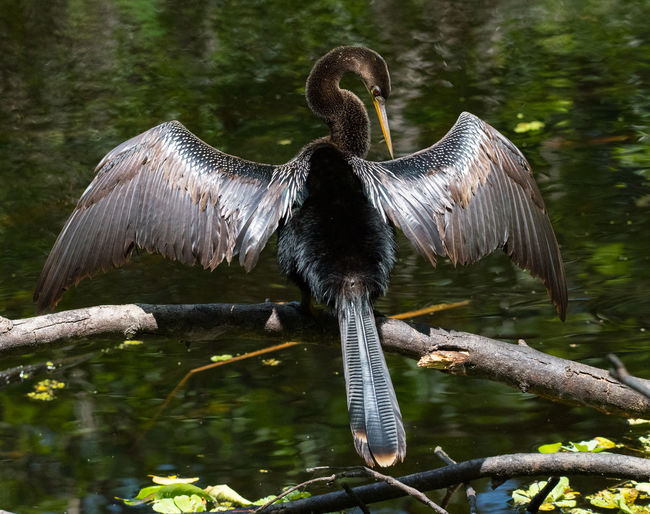 "APR 2019 - Anhinga ""The anhinga (/ænˈhɪŋɡə/; Anhinga anhinga), sometimes called snakebird, darter, American darter, or water turkey, secret crow, is a water bird of the warmer parts of the Americas. The word anhinga comes from the Brazilian Tupi language and means devil bird or snake bird. When swimming the origin of the name snakebird is apparent: only the colored neck appears above water so the bird looks like a snake ready to strike. They do not have external nares (nostrils) and breathe solely through their epiglottis."" Animal Themes Vertebrate Animal Wildlife One Animal Tree Animals In The Wild Water Bird Nature Day Animal No People Forest Spread Wings Outdoors Perching Warming Up Wading Birds South Florida"