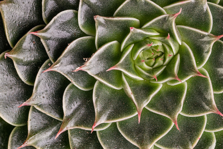 Abstract close-up top view of the colorful natural rosette pattern of a succulent plant