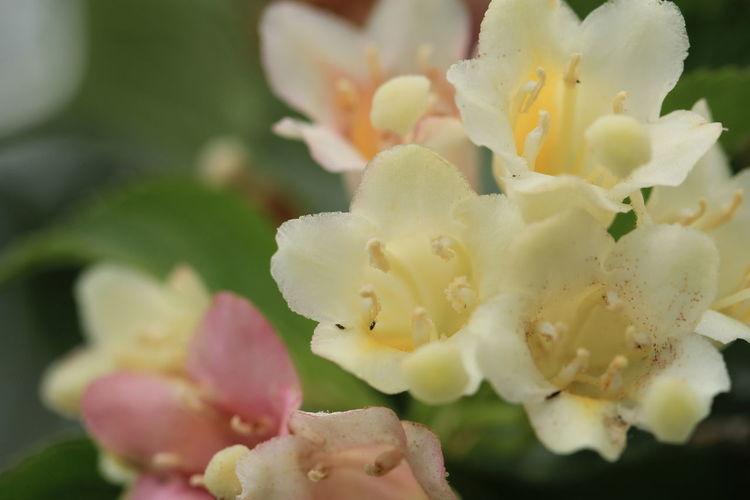生き物の小ささの限界って、どこだ? Insect 野草 Wildflower Macro Photography Weigela ハコネウツギ とてつもなく小さい虫 Flower Head Prickly Pear Cactus Flower Cactus Petal Close-up Plant In Bloom Botany