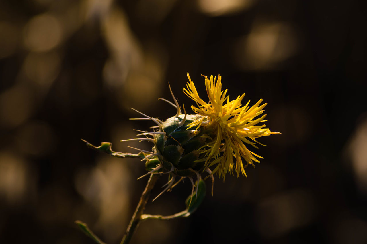 flower, flowering plant, fragility, plant, vulnerability, close-up, beauty in nature, growth, freshness, focus on foreground, flower head, petal, inflorescence, nature, yellow, day, no people, outdoors, selective focus, plant stem, sepal