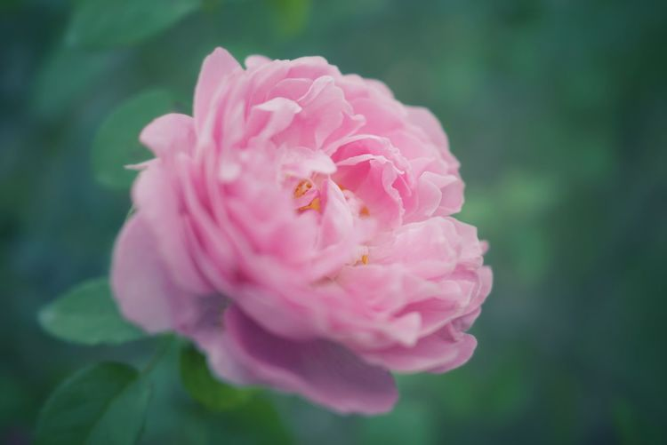 Close-up of pink rose blooming on field