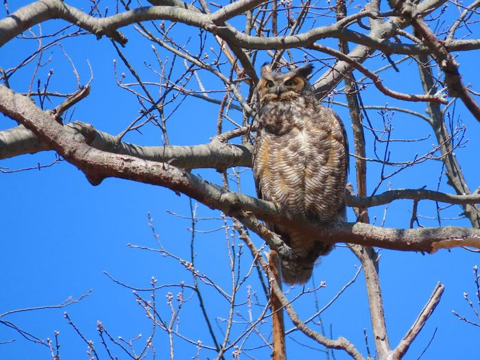 Owl perched on a bare tree branch clear blue sky outdoors beauty in nature Birds of EyeEm Birdwatching Birds of prey animal themes EyeEm nature lover Tree Branch Low Angle View Animal Wildlife No People