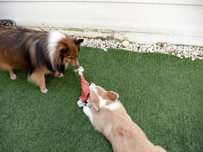 Shetland sheepdog playing with corgi dog puppy in the garden