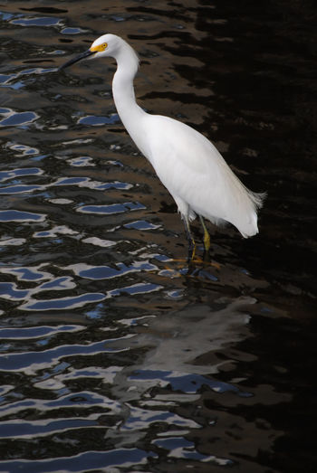Animal Animal Photography Animal Themes Animals Bird Bird Photography Birds Birds Of EyeEm  Birds_collection Egret GreatEgret Ripples Water