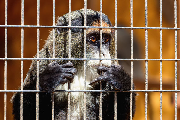 Monkey Looking Through Cage