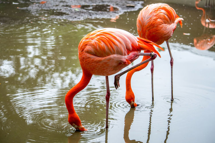 vibrant flamingo birds walk in shallow waters looking for small fish and crustations Exotic Feathers Habitat Long Legs Nature Pink Animal Animal Themes Animals In The Wild Bird Birds Coral Feathers Of A Bird Flamingo Nature Orange Color Outdoors Tropical Climate Vibrant Color Wading Bird Water Waterfowl Wild Rose Wildlife
