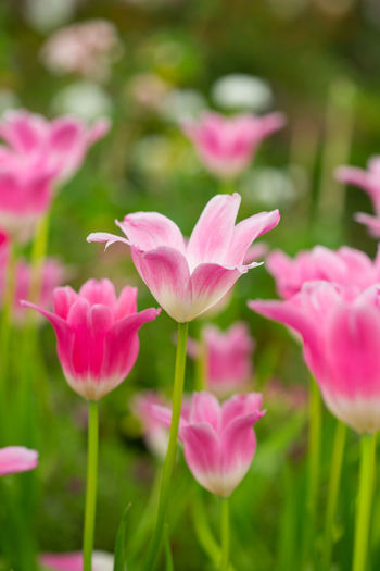 Tulips🌷 Flower Flowering Plant Plant Vulnerability  Fragility Beauty In Nature Freshness Growth Petal Pink Color Close-up Inflorescence Nature Flower Head No People Day Field Plant Stem Land Outdoors Purple