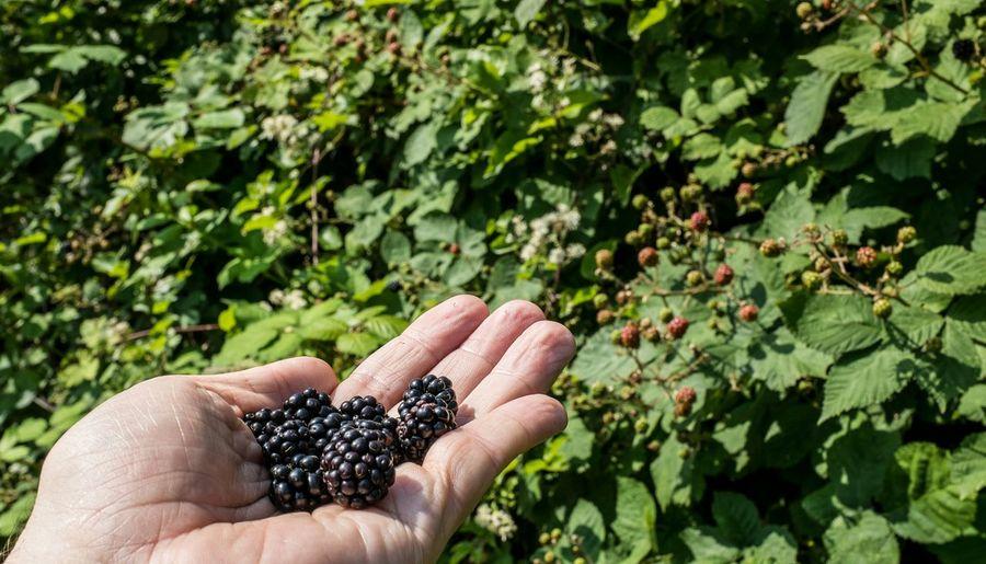 Cropped hand holding blackberries at garden