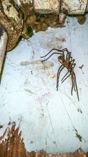 Spider Arachnid Animal Creature Creepy Crawly Eight Legged Overhead Web Pipe Wall Cavity Dark Indoors  No People Flaking Paint Wall Hunter Pipework Service Space Vertical Colour Image Spinning Web Close Up