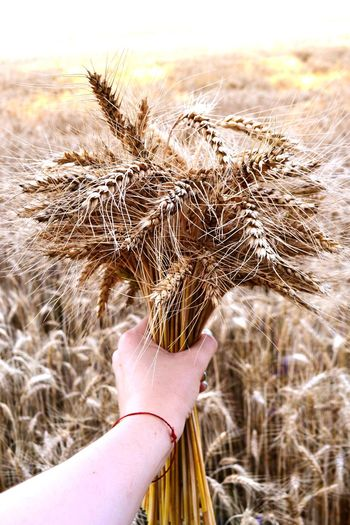 Close-up of human hand holding cereal plants on field