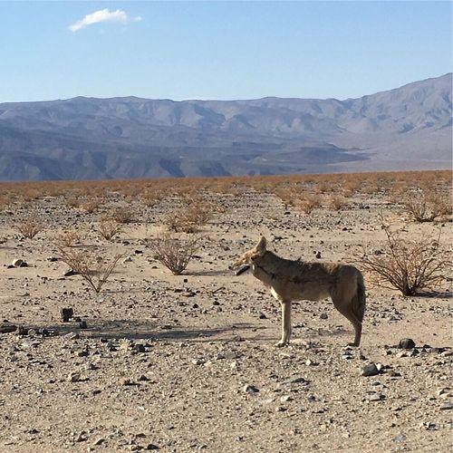 Coyote, Wüste, USA