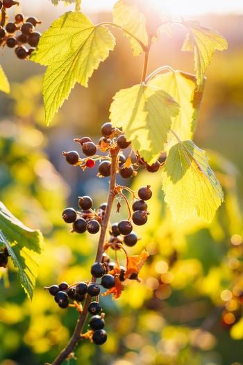 Close-up of black currants growing on plant