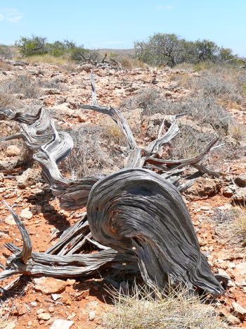 Arid Country Art In Nature Australian Landscape Bent And Twisted Tree Stump Cape Range National Park Landscape Nature No People Outdoors Patterns In Tree Stump Sandblasted Tree Stump The Great Outdoors - 2017 EyeEm Awards Windblown Tree Stump