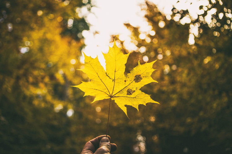 Autumn Beauty In Nature Change Close-up Day EyeEm Nature Lover Fall Fall Beauty Fall Colors Fragility Hands Horizontal Leaf Leaf Vein Maple Leaf Nature Nature Nature Photography Nature_collection Naturelovers No People Outdoors Sky Tree Yellow