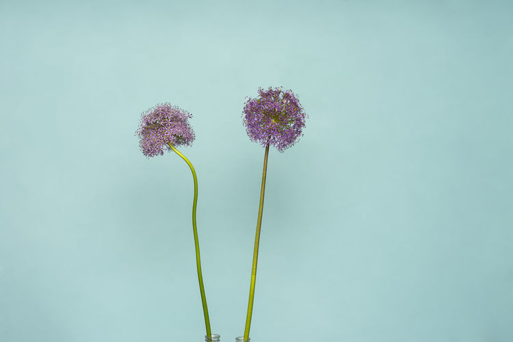 Close-up of purple flowering plant against blue background