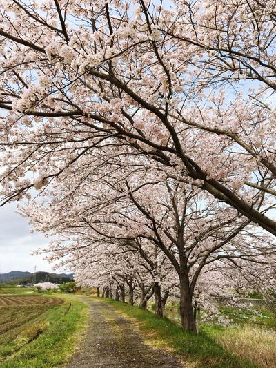 Tree Blossom Nature Springtime Almond Tree Branch Grass Beauty In Nature Growth Idyllic Flower Cherry Tree Outdoors Landscape Cherry Blossom Scenics Sky No People Day Sakura Good Morning! Make You Coffee