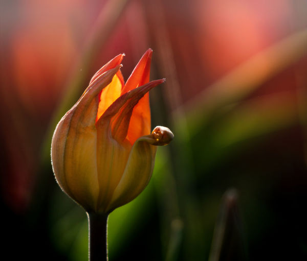 tulip Spring Flowering Plant Flower Fragility Plant Vulnerability  Beauty In Nature Freshness Petal Growth Close-up Flower Head Inflorescence Focus On Foreground Nature Orange Color Botany No People Bud Plant Stem Outdoors Springtime