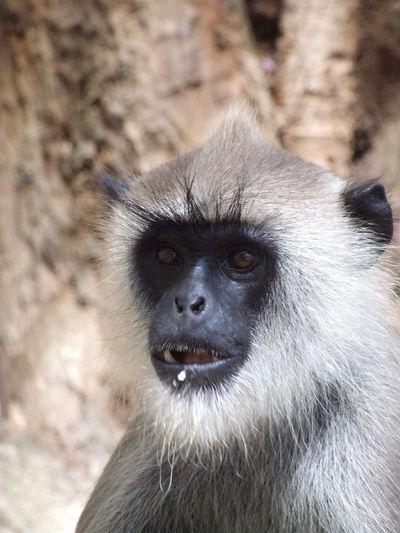 Portrait of gorilla looking away in zoo
