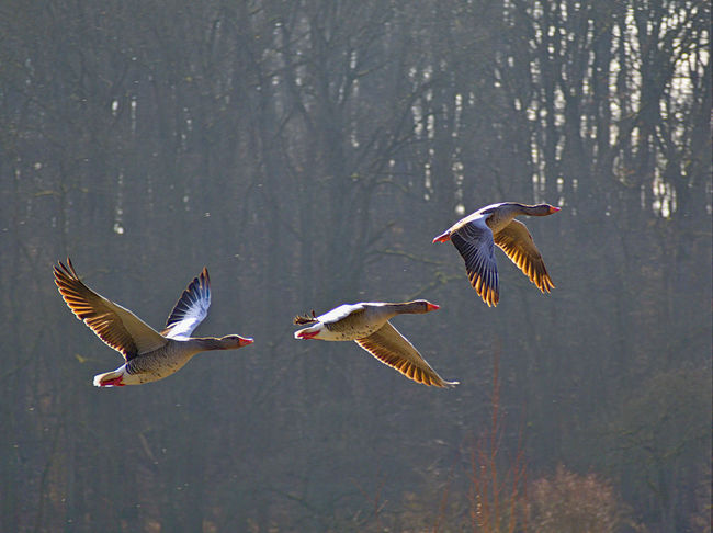 Gooses Animal Themes Animal Wildlife Animals In The Wild Beauty In Nature Bif Bird Birds In Flight Day Flying Gooses Family Graylag Goose Lake Mid-air Nature No People Outdoors Spread Wings Tree