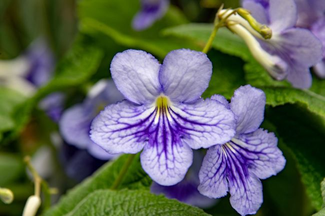 Streptocarpus cultivar blau Flowering Plant Flower Beauty In Nature Plant Petal Fragility Purple Freshness Close-up Vulnerability  Growth Flower Head Inflorescence Nature No People Focus On Foreground Day Outdoors Leaf Plant Part