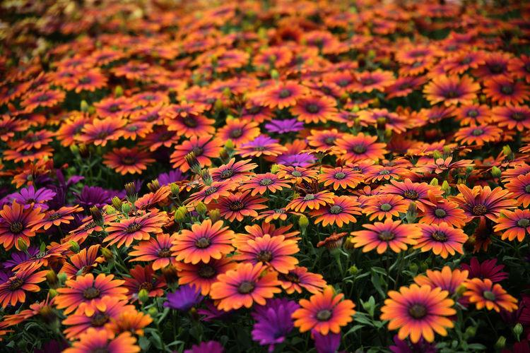 Full frame shot of orange flowering plant in field