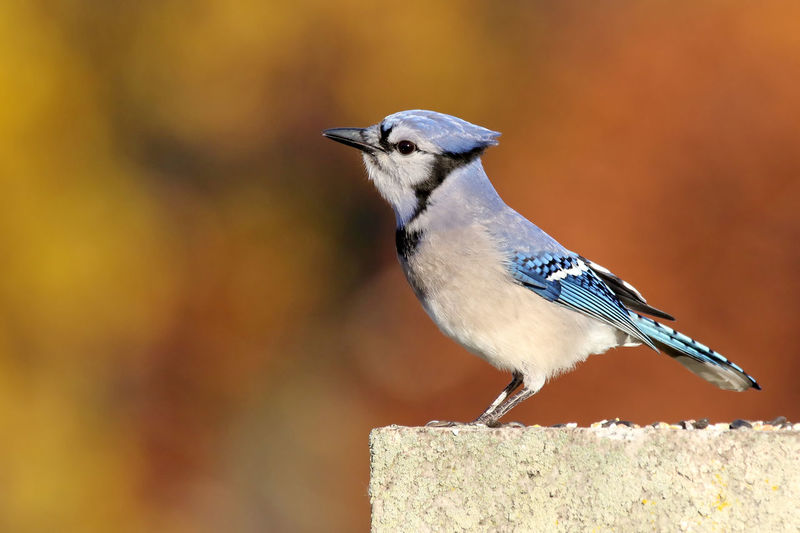 Close-up of blue jay bird perching on rock