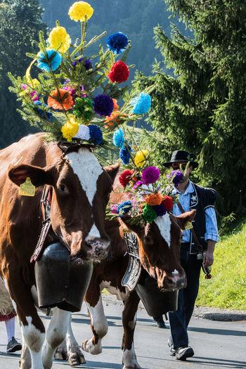 Armaillie Charmey Suisse  Chèvres Desalpes Drapeau National Edelweiss Vaches