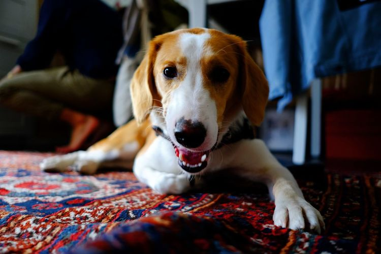 Canine Dog Domestic Domestic Animals Furniture Home Interior Indoors  Looking At Camera Mammal Mixed Breed Dog One Animal People Pets Portrait Puppy Relaxation Vertebrate