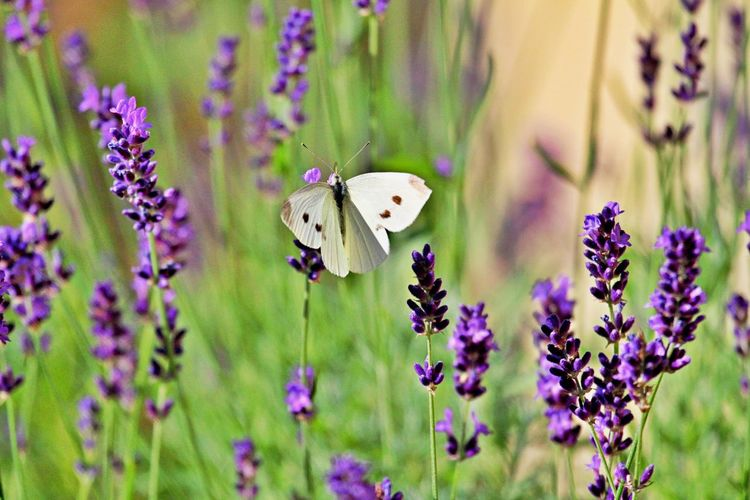 Flower Flowering Plant Plant Vulnerability  Fragility Beauty In Nature Animal Wildlife Insect Animal Animal Themes One Animal Purple Growth Animals In The Wild Freshness Nature Petal Close-up Butterfly - Insect Animal Wing Flower Head No People Pollination Lavender