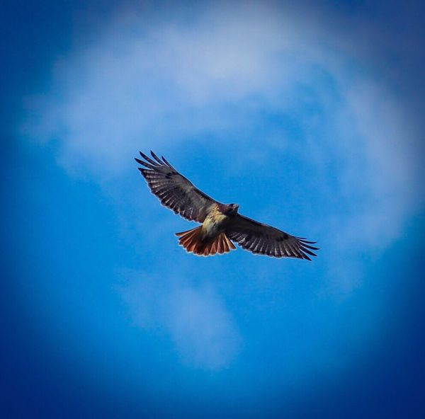 Bird Flying One Animal Blue Spread Wings Sky Animals In The Wild Cloud - Sky Animal Wildlife Mid-air Animal Themes Low Angle View Nature No People Day Outdoors Full Length Beauty In Nature One Of My Favorites Selling Redtailhawk