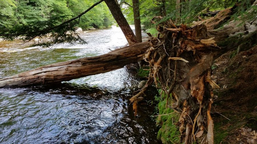 Beauty In Nature Change Day Decomposition Forest Growth Landscape Nature New England  New Hampahire New Hampshire, USA No People North Woodstock, Nh Outdoors Pemigewasset River Summer The Pemi Tree Tree Trunk Water