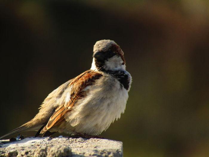 Close-up of sparrow bird on rock