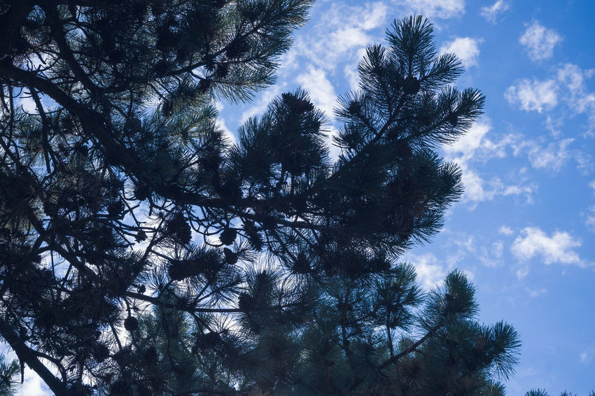 Backgrounds Beauty In Nature Branch Cloud - Sky Coniferous Tree Day Forest Growth Idyllic Low Angle View Nature No People Outdoors Plant Scenics - Nature Silhouette Sky Sunlight Tranquil Scene Tranquility Tree Tree Canopy