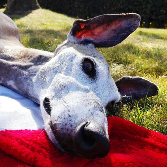 Ellie, our rescued greyhound, loves doing nothing. One Animal Domestic Animals Animal Head  Animal Themes Close-up Mammal Animal Nose Relaxation Pets Focus On Foreground Red Snout No People Extreme Close Up Looking Greyhound Greyhoundrescue Relaxing